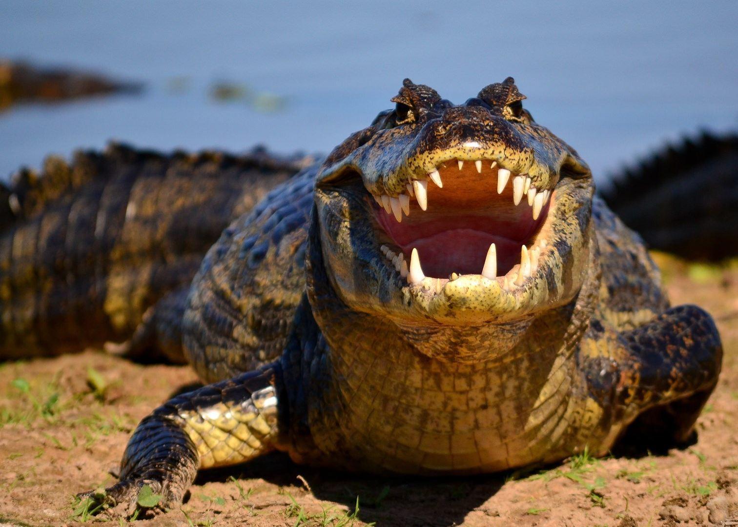 Alligator Watching And Piranhas Fishing