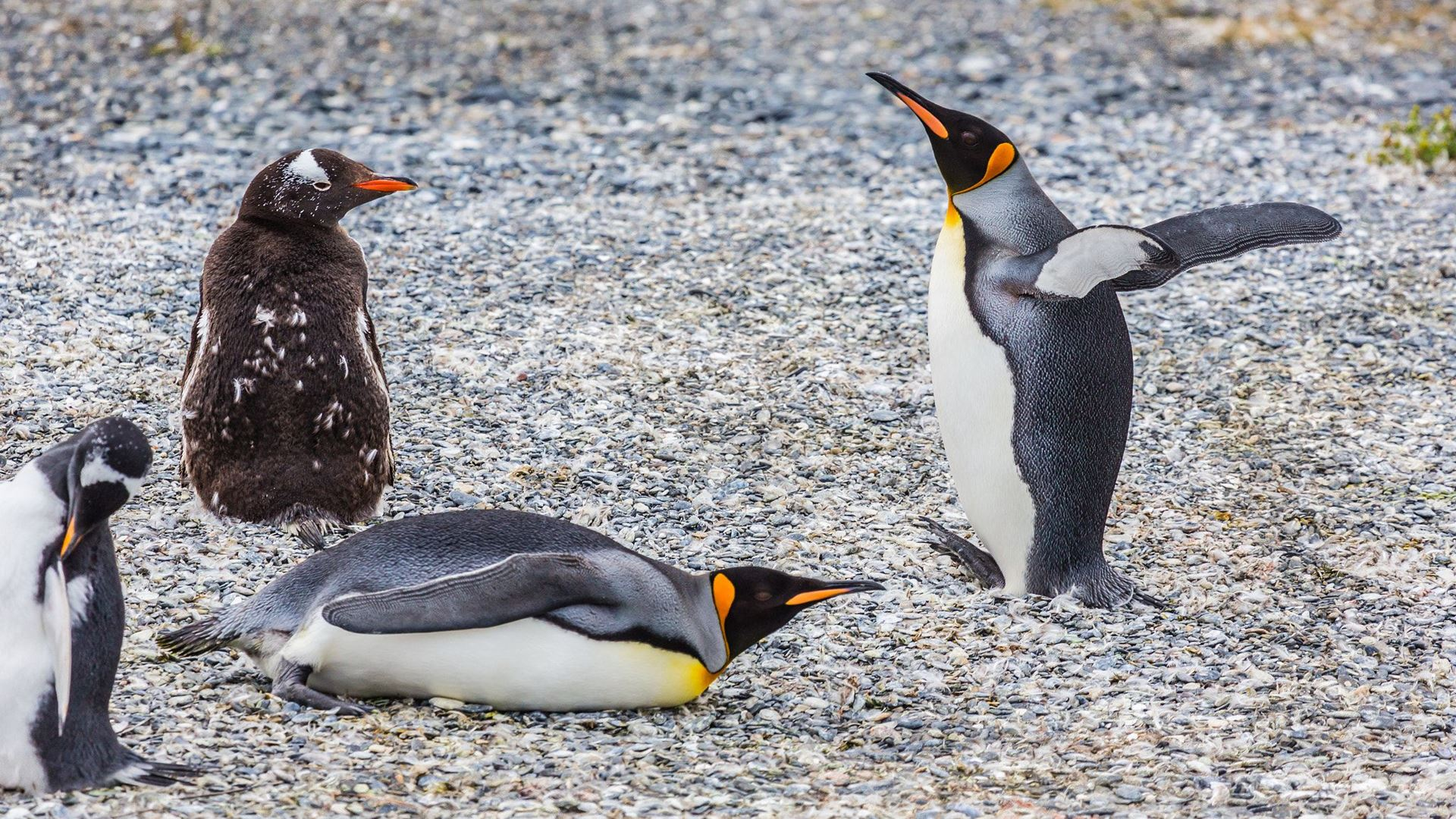 GABLE ISLAND AND PENGUIN WATCHING